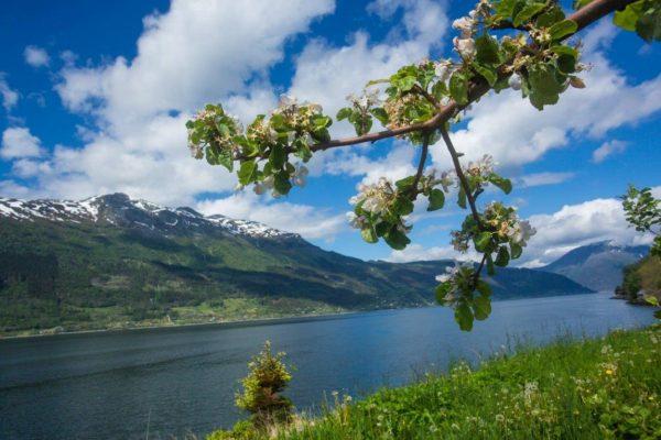 Цветущие яблоневые сады Hardangerа